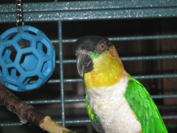 Parrots For Sale in Celbridge Kildare Classifieds Donedeal Ads