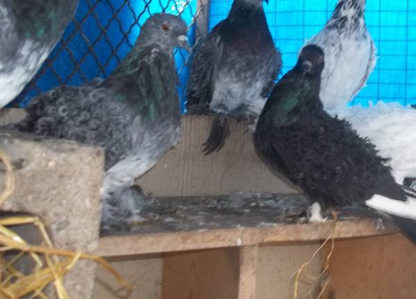 Pigeons For Sale in Mallow Cork Classifieds Donedeal Ads