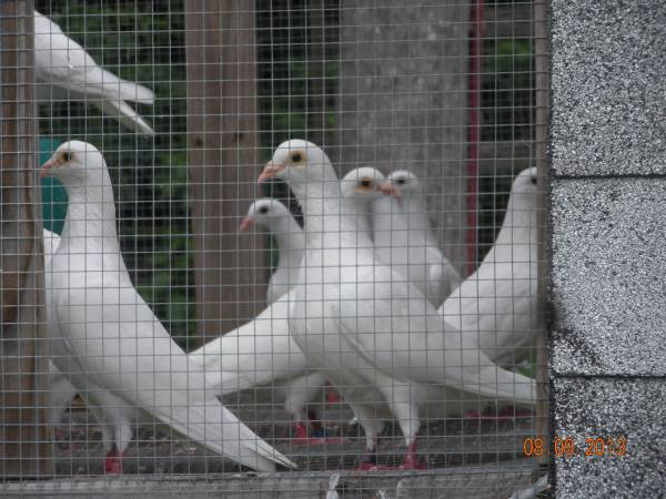 Pigeons For Sale in Coolock Dublin Classifieds Donedeal Ads