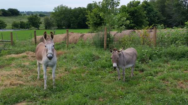 Donkeys For Sale in Glengarriff Cork Classifieds Donedeal Ads