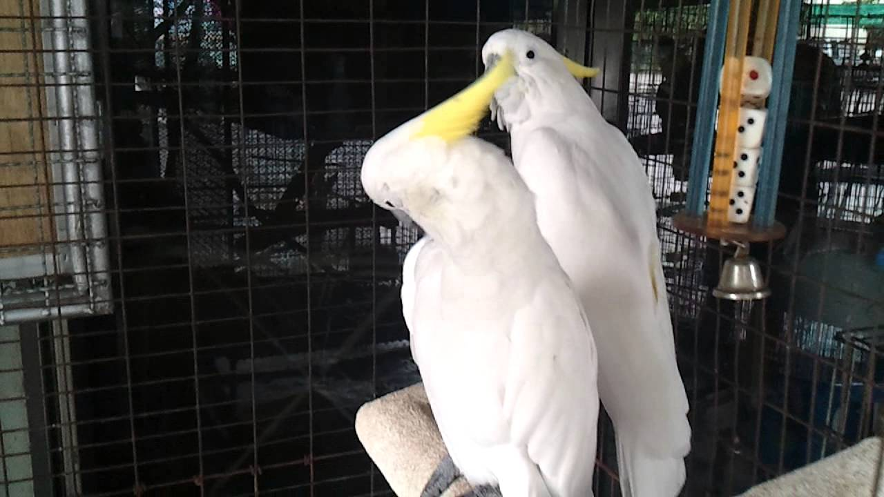 Ireland Parrots For Sale classifieds  Buy and Sell, Browse or Post